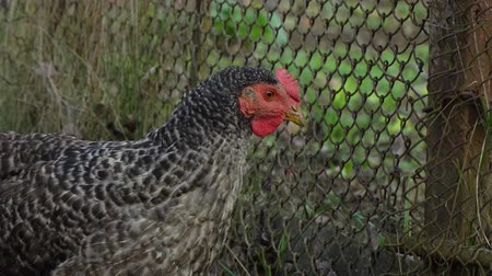 chicken coop : Domestic chickens. Chickens graze in the yard. They peck on food and grass.