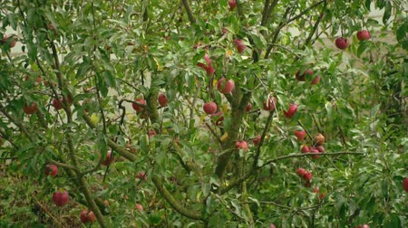 cidra : Apple tree. Apples on the apple tree close-up. Ripe red apples in the garden. Apple tree in the wind.