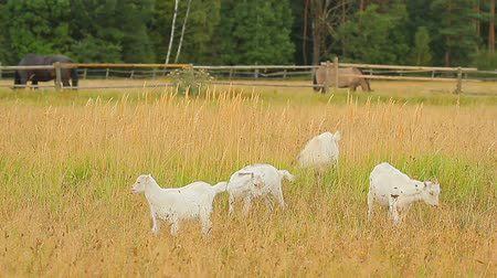 cabra : goat standing on summer pasture, nature series