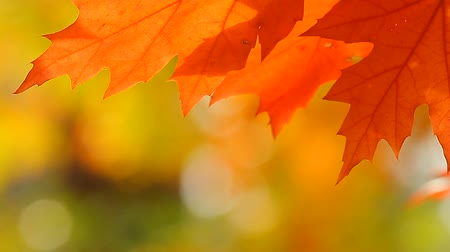 red maple : plants for natural background, nature series Stock Footage
