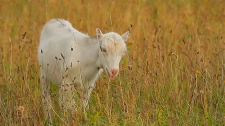domestic animals : goat standing on summer pasture, nature series