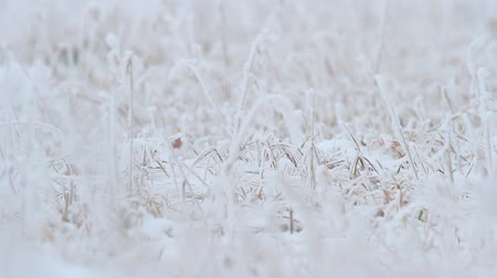 мороз : frozen plants ot -16 C for natural background, nature series