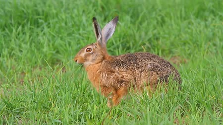 kahverengi : cute grey hare standing on the grass, nature series Stok Video