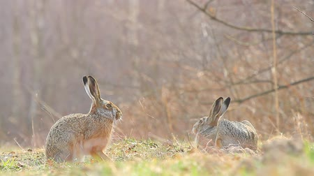 wielkanoc tło : cute grey hare standing on the grass, nature series Wideo