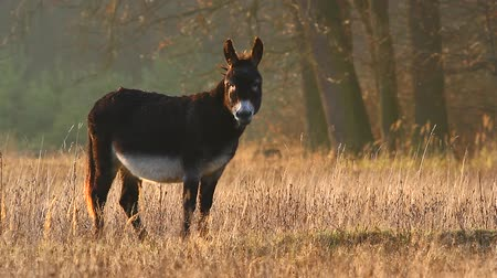 cabra : donkey in a field in sunny day, nature series Stock Footage