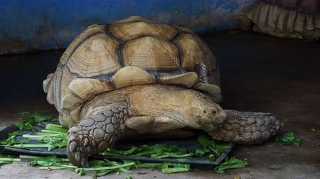 býložravý : Giant African spurred or Sulcata tortoise with green mouth by eating vegetable in close up looking to the side in a zoo over dark background