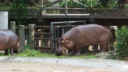 fome : Hippopotamus or hippo eating green grass over dark background