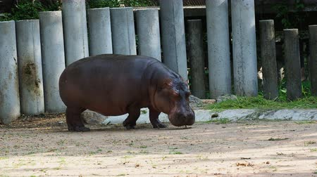 víziló : Hippopotamus or hippo eating green grass over dark background