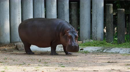hippo : Hippopotamus or hippo eating green grass over dark background