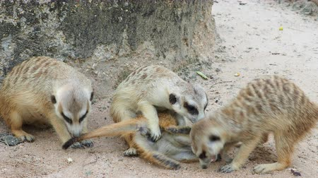 rozhledna : Meerkat playing and cuddling with family with concept of motherhood, brotherhood, and sharing