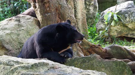 endangered species : Asiatic black bear resting on rocks with another black bear over nature background Stock Footage
