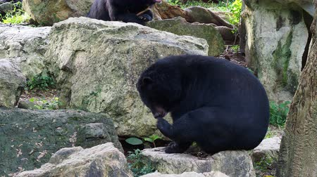 omnivore : Asiatic black bear scratching its neck and smelling its feet over nature background Stock Footage