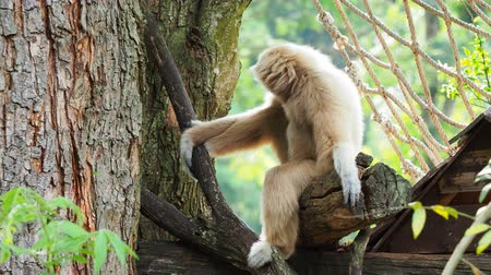 borneo : Yellow gibbon with black face and white fur at eyebrow, cheek, hands, and feet resting on a log with blurred background