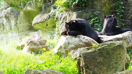 omnivore : Asiatic black bear resting on rocks and licking feet with another black bear over nature background