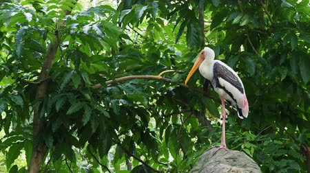 painted stork : Big painted stork bird standing on the rock waiting to hunt over green leaves background