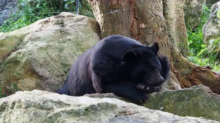 omnivore : Asiatic black bear resting on rocks in close up over nature background