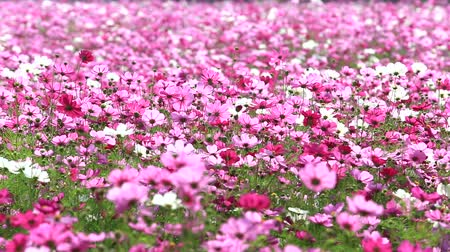 borders : Colorful pink flower naturally.HD1080