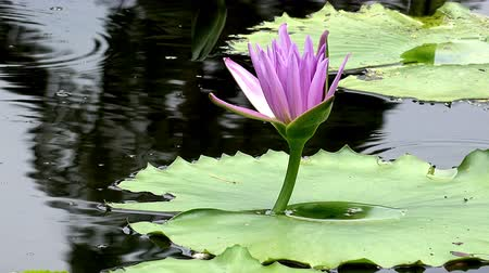 gölet : Pink lotus flower in the pond Stok Video