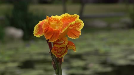 colic : Canna flower orange beautiful
