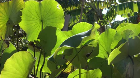 genuíno : Lotus Leaf sunlight wind Stock Footage