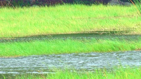 shores : The stream river  flows through high green meadows in nature. Stock Footage