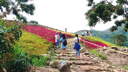compositae : Rayong, Thailand: 03 January 2018 tourists Visit the colorful mountain flowers field and take a photograph of this holiday in Rayong in Thailand.
