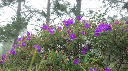 botanik : The natural violets flowers are in the cool mountain air.