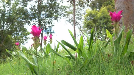 florescente : Curcuma sessilis ,Clove flowers, Siam Tulip,blooming in the tropical rain forest of Thailand.