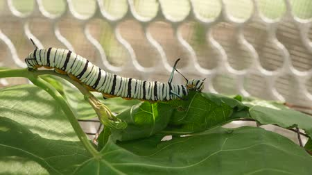 chrysalis : Worm silk eat mulberry leaves . Silk worm silk production