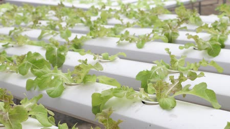 hydroponic : Organic hydroponic vegetable farm
