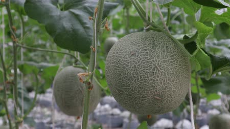 мускусная дыня : Fresh cantaloupe hanging on tree, Green melon in garden