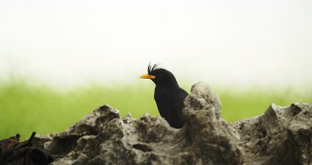 starling : Beautiful black bird on a rock, 4K DCI Stock Footage