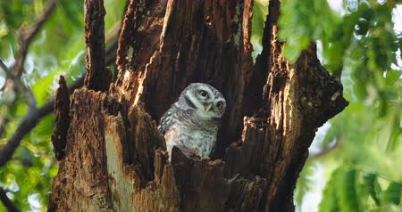 Child cute owls is made in a hollow tree staring with big eyes in Thailand, 4K DCI
