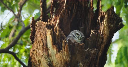 presa : Child cute owls is made in a hollow tree staring with big eyes in Thailand, 4K DCI