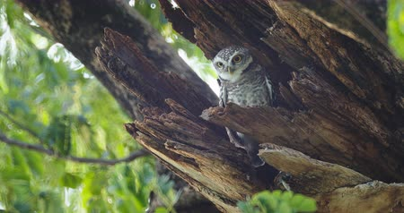 oco : Child cute owls is made in a hollow tree staring with big eyes in Thailand, 4K DCI