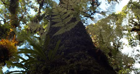 Worm's-eye view Shot. A large tree of rainforests. 4K DCI