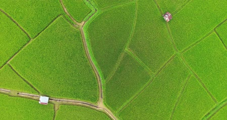 Zoom out and rotate shot. aerial view birds eyes view shot on a rice field. Rice farm Map 4K DCI