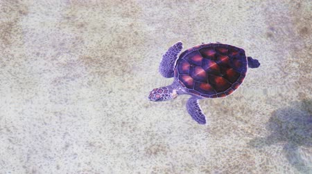 приехать : Baby sea turtle swimming and come to breathe on the water surface in an incubation pool. Close up shot 4K
