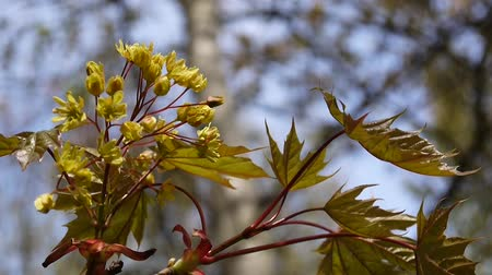acer : Blooming maple in spring. Beautiful young green branch of tree swinging in the wind. Acer platanoides. Shoot of static camera.