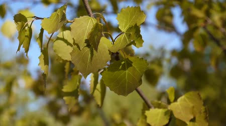 populus : Fresh aspen leaves in spring tremble in the wind blue sky background. Populus tremula. Footage of shutting static camera.