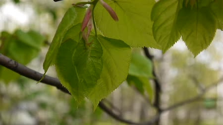 urlop : Green, fresh leaves Lime tree linden Tilia natural background forest in spring. Static camera. 1080 Full HD video footage.
