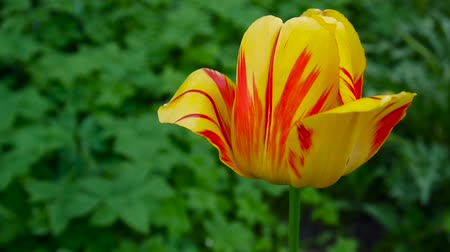 mestiços : One red and yellow tulip flower swaying by of the wind. Static camera HD footage. Tulipa.