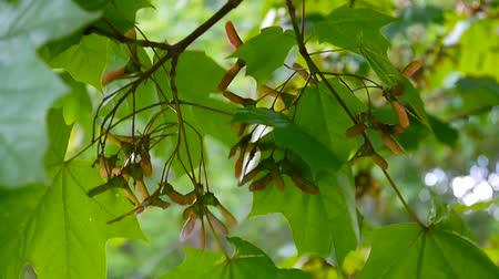 acer : Branch of maple with seeds on wind. Acer platanoides. HD video footage shooting of static camera.
