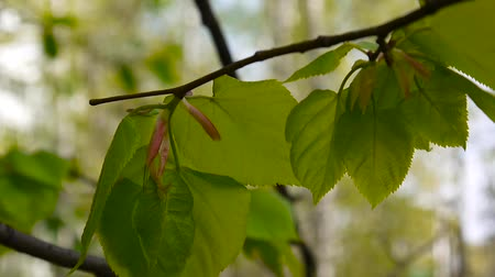 ayrılmak : Green, fresh leaves Lime tree linden Tilia natural background forest in spring. Static camera. 1080 Full HD video footage.