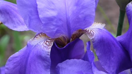 öv : Blue irises closeup moving on the wind. Video footage HD static camera. Stock mozgókép
