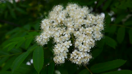 sorbus : Flowering branch of mountain ash in the wind. Sorbus aucuparia. Shooting close-up static camera. Stock Footage