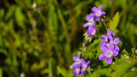 герань : Wild Cranesbill. Geranium pratense close up footage shooting static camera. Стоковые видеозаписи