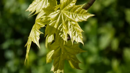 acer : Green leaves in spring. Beautiful young green maple tree swinging in the wind. Acer platanoides. Sooting of static camera.