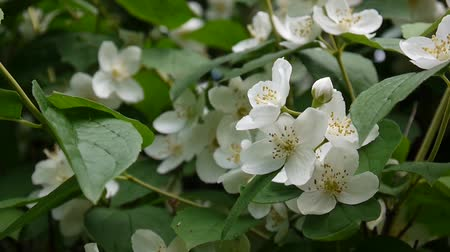philadelphus blossoms : Mock orange blooming in the wind. video shooting static camera. Philadelphus. Stock Footage