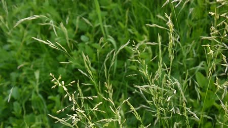 pratensis : Common meadow grass in a field Poa pratensis. Conical panicles The plant is also called Kentucky bluegrass. Stock Footage